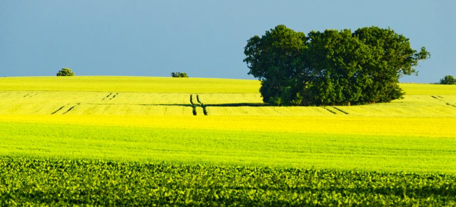 Rapsfelder mit Baum - schöne Landschaft bei Geldern